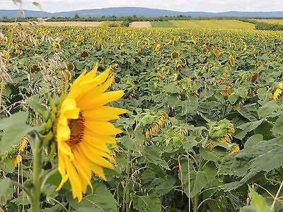 Deutsche Gestreifte Sonnenblumenkerne 25 kg Vogelfutter Fettfutter Winterfutter