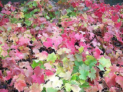 Black Grape Fruit Vine In 2 Lt Pot Climbing Plant Vitis Brant Hardy Outdoor Vine 2
