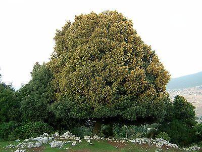 QUERCUS ILEX Leccio OFFERTA 40 piante x siepi da legna 3