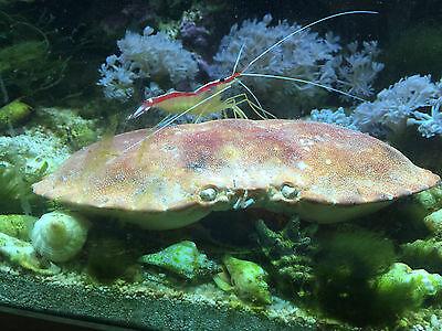 Marine not HERMIT Crab Shells marine and fresh water 3