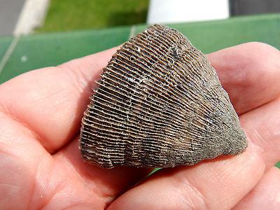 "Fosiles Moluscos "" Excepcional Coral  Plascomillia Vidali    -  10E15 "" 2"