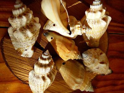 5x seltene Pazifik Muschel gebohrt 1mm Anhänger Kette Natur Meer