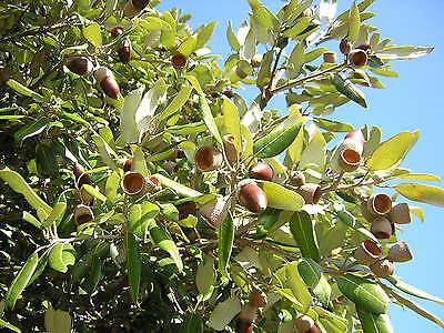 QUERCUS ILEX Leccio OFFERTA 40 piante x siepi da legna 4