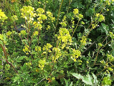1000 semi di senape - pianta aromatica Sinapsis species o Brassica species- 2