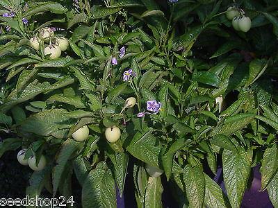 Cephalotaxus harringtoni 5+ Samen Saatgut Japanische Pflaumeneibe Seeds