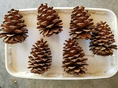 "Lot of 25 fresh Large Ponderosa Pine Cones 4"" - 5"" long. Wedding Decor, wreaths 3"
