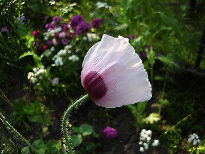 Echter Schlafmohn 1000 frische Samen- Papaver somniferum - Blaumohn   poppy seed 2