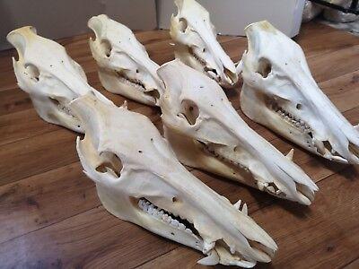 Auténtico XXL Jabalí Cerdo Verraco Cráneo Hueso Preparado Trofeo Larp
