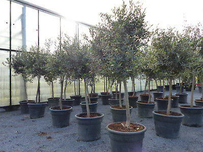 SONDERPREIS: Olivenbaum Olive 160 - 180 cm, beste Qualität, winterhart + robust