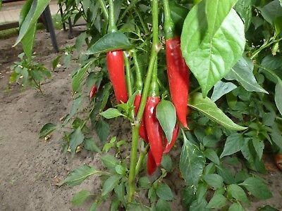 Gemüsesamen Saatgut Giant Aconcagua süsse Paprika 5+ Samen Seeds