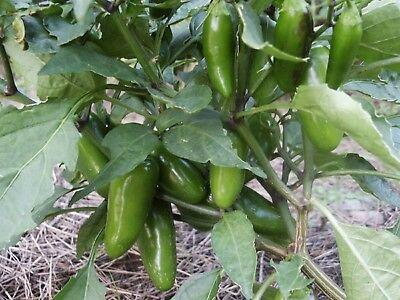 Pepper Early Jalapeno  Seeds EARLIER AND HARDIER = EXTREMELY PRODUCTIVE!!!
