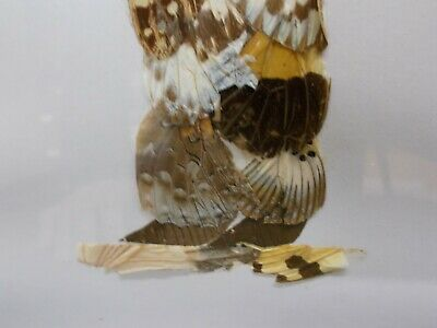 Curiosité Tableau en marqueterie d'ailes de papillons représentant une femme 5