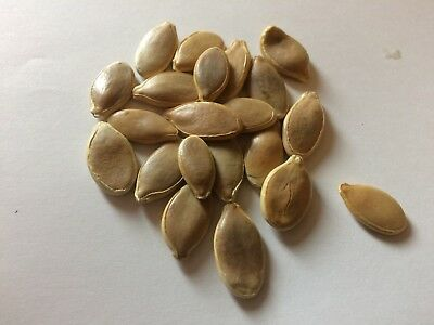 Pumpkin Dills Atlantic Giant  - 10 Larger Seeds (Imported From Usa Grower) 2