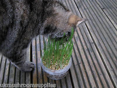 Complete cat grass grow kit - edible grass seed mix (oat, wheat, barley & rye) 3