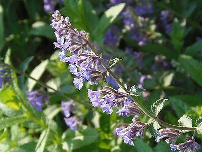 Herb  Catnip Catmint Nepeta Cataria  2 Gram ~ 2660 Finest Seeds