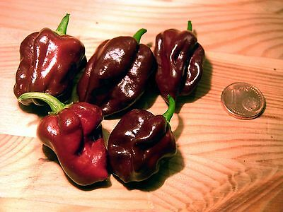 Vegetable  Hot Chilli Pepper Habanero Chocolate  60 Seeds 4