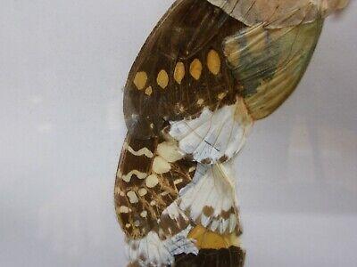 Curiosité Tableau en marqueterie d'ailes de papillons représentant une femme 4