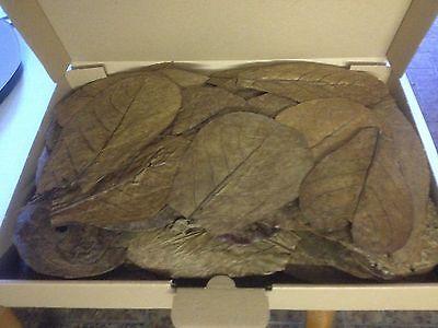 60 Stück 10-15cm - Seemandelbaumblätter / Catappa Leaves / Wasseraufbereitung 2