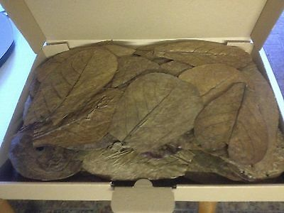 60 Stück 10-20cm - Seemandelbaumblätter / Catappa Leaves / Wasseraufbereitung 2