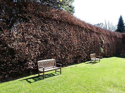 50x GREEN BEECH Hedging plants shrubs Native Bareroot Fagus 2-3ft e110
