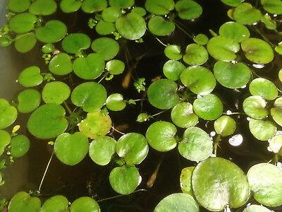 9+ extra small Amazon frogbit Live aquarium/Aquatic/Floating plant 3