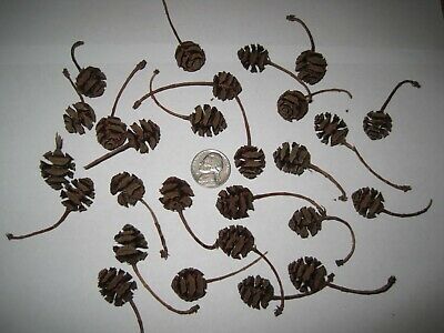 50 Dawn Redwood Seed Pods // Cones Crafts Natural Fall Decorations Harvest
