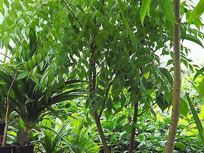 Curry Leaf Tree Bergera Koenigii L 1 Plant 1199