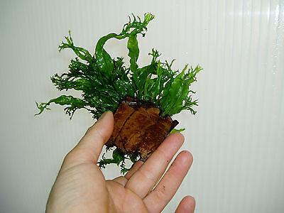 Planta de acuario.Microsorium ex natura(windelow) crecida sobre coco. 2
