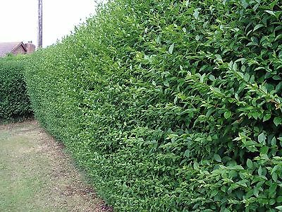 20 Green Privet Plants 3ft Tall, Evergreen Hedging, Grow a Quick, Dense Hedge 3