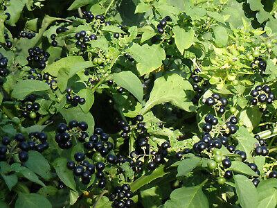 """+ 50 Graines """"Myrtille Du Soleil"""" - Sunberry - Rare !!!- Frais de port Unique !! 5"""