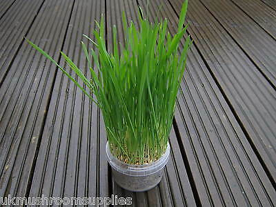 Complete cat grass grow kit - edible grass seed mix (oat, wheat, barley & rye) 2