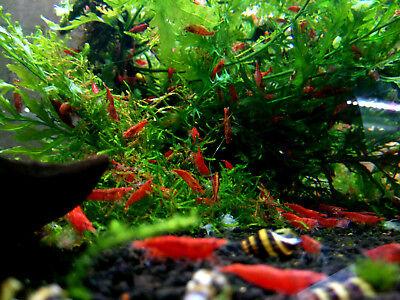 10 x Red Cherry Freshwater Easy aquarium shrimp  size approx 1,5 cm 7