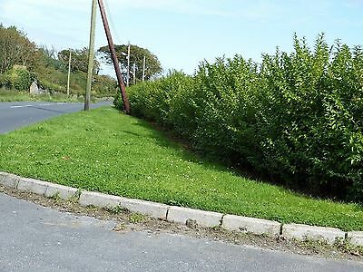 20 Green Privet Plants 3ft Tall, Evergreen Hedging, Grow a Quick, Dense Hedge 5