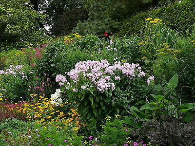 5X Mixed Established Garden Shrubs - Quality Potted Plants - Colourful Border 5