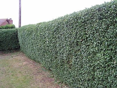 20 Green Privet Plants 3ft Tall, Evergreen Hedging, Grow a Quick, Dense Hedge 4