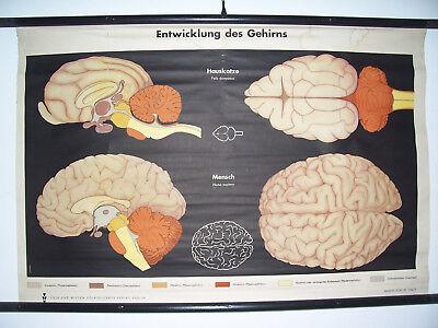 Volk & Wissen Rollkarte Lehrkarte Entwicklung des Gehirns DDR Lehrmittel ! (20