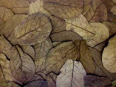☺☝✈✈☝☺100 Stück 10-20cm Seemandelbaumblätter ✈✈✈☝Blitzversand☝✈✈✈ Catappa Leaves 2