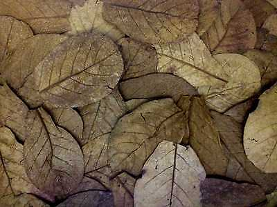 100 Stück 10-20cm - Seemandelbaumblätter im Blitzversand ★★★★★★★★ Catappa Leaves