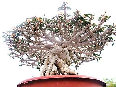 Euphorbia hedyotoides exotic rare madagascar bonsai caudex cacti seed 5 seeds