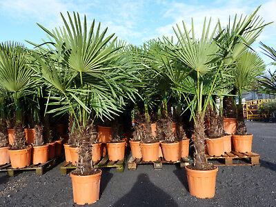 "Palme XXL ""light"" Trachycarpus fortunei, Hanfpalme, winterhart bis -18°C"