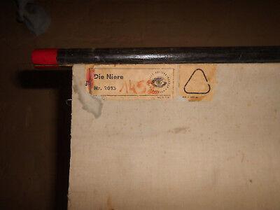 1 x Niere, Rollkarte / Lehrtafel (1452), gebr.Logo Deut. Hygiene Mus. Dresden