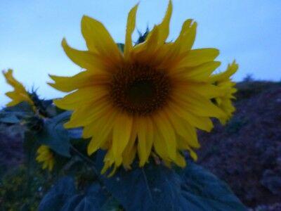 20 sunflower seeds upto 2m yellow big bee bird kids oil Helianthus sunshine blue