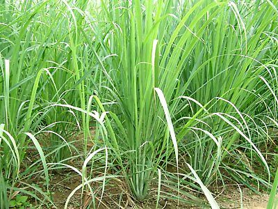 Lemongrass 12 LIVE Plants Each 4In to 7In Tall fully rooted Fever grass citratus 3