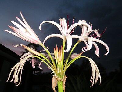 Politifolium super rare species blooming-size bulb large Crinum Lily NEW