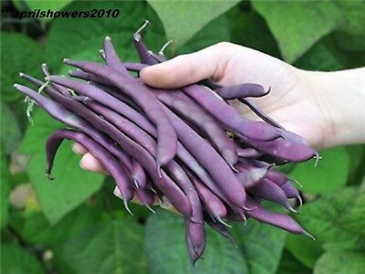 Bean Royalty Purple 25+ SEEDS HIGHLY PRODUCTIVE! EASY! STRONG! UPRIGHT BUSH! 2