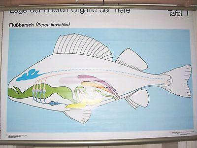 DDR Schulkarte Wandkarte Rollkarte Organe vom Flußbarsch um 1970 Fisch ! 4