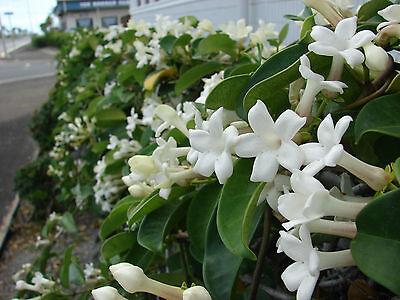 Madagascar Jasmine Seeds 15 FRESH Stephanotis Floribunda SUPER FRAGRANT!