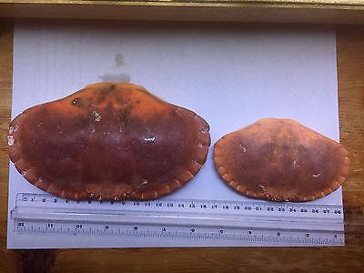 Marine not HERMIT Crab Shells marine and fresh water 2