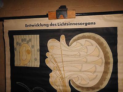 1 x Entwicklung des Lichtsinnesorgans, Rollkarte / Lehrtafel (1553), gebraucht