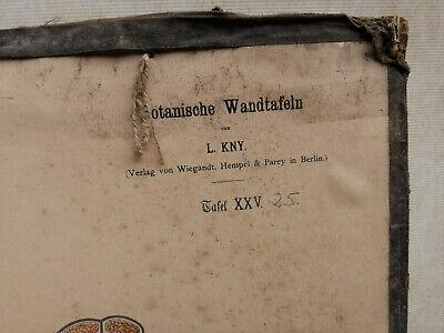 Alte Schulwandtafel Botanik C.I. L. Kny farbige Lithografie auf Karton 4